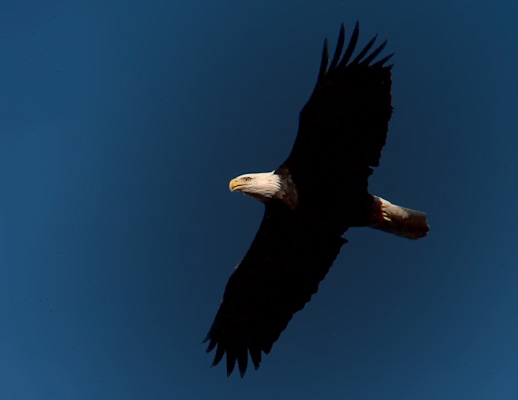 Bald Eagle Flying over Buffalo National River, Ponca Arkansas