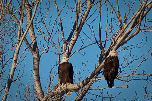 Two Bald Eagles in Tree at Sequoyah National Wildlife Refuge