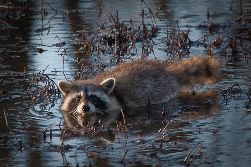 Raccoon at Sequoyah National Wildlife Refuge