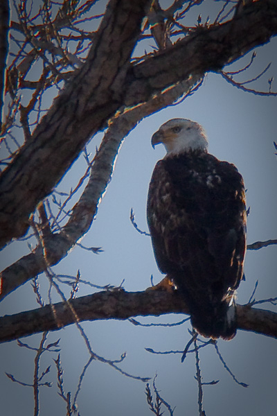Bald Eagle at Sequoyah National Wildlife Refuge