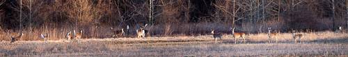 Panoramic Photo of Deer at Sequoyah National Wildlife Refuge