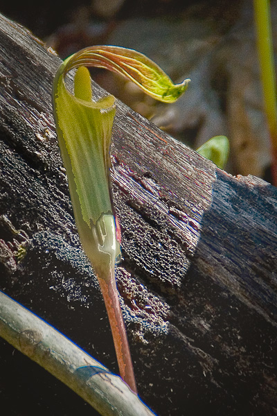 "Wildflowers are abundant, such as this ""Jack in the Pulpit"""