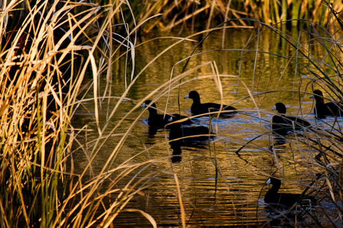 Ducks at Sequoyah National Wildlife Refuge