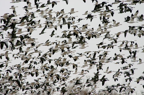 Thousands of Snowgeese at Sequoyah National Wildlife Refuge