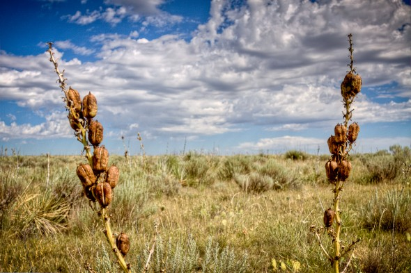Yucca seedpod in the Cimarron National Grassland in western Kansas.
